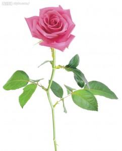 胃胀吃什么 - 玫瑰花
